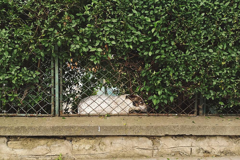 pas koji drema