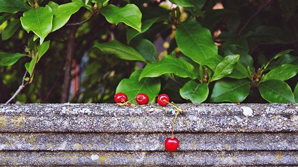 trešnje