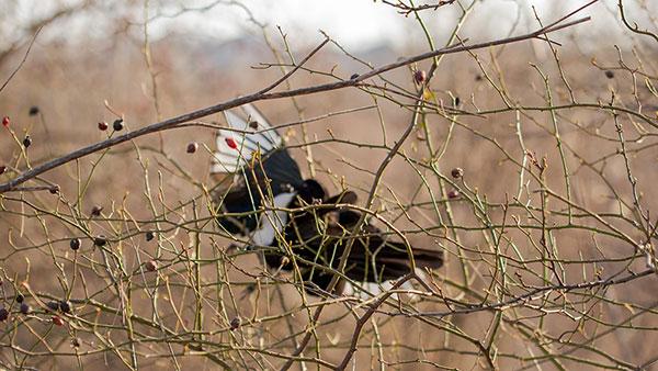ptica u žbunu