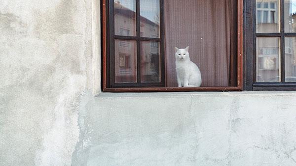 bela mačka